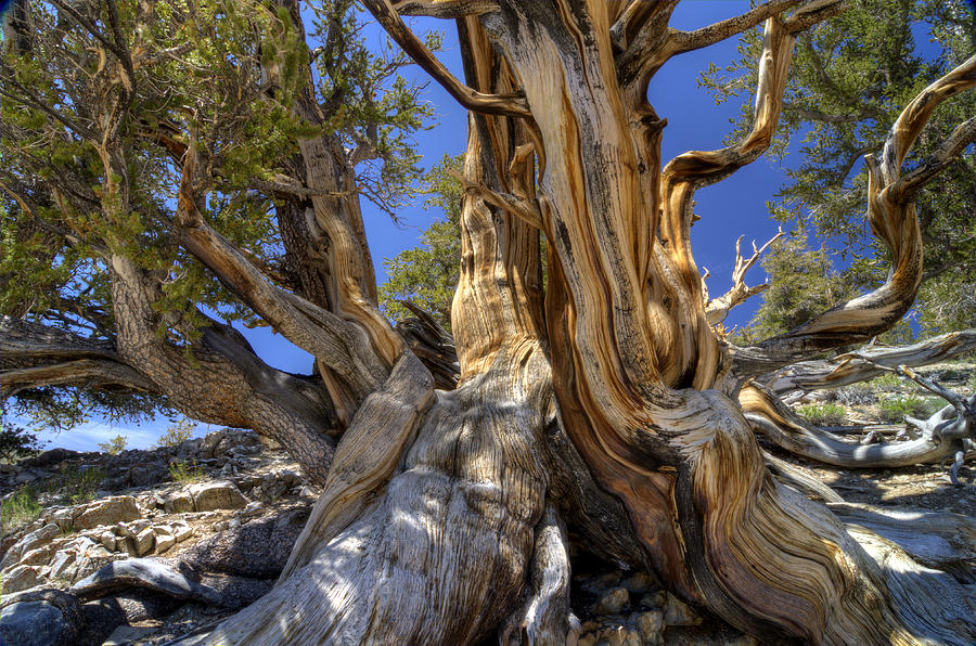 Tree Photograph - Ancient Bristlecone by Dianne Phelps
