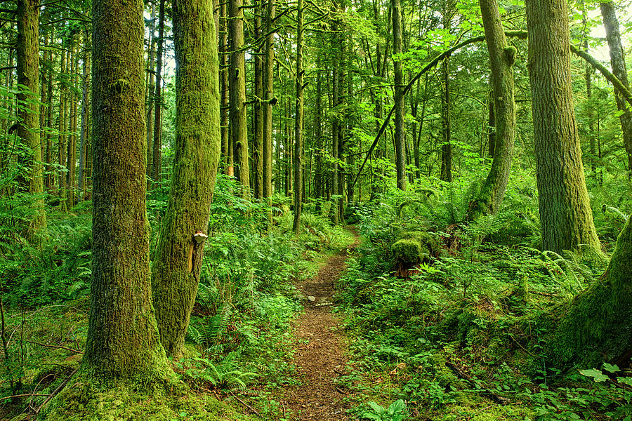 Ancient Forest Path Photograph by Rontech2000