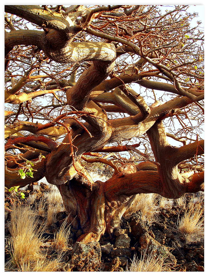 Wiliwili Photograph - Ancient Wiliwili Tree by Stephen Green