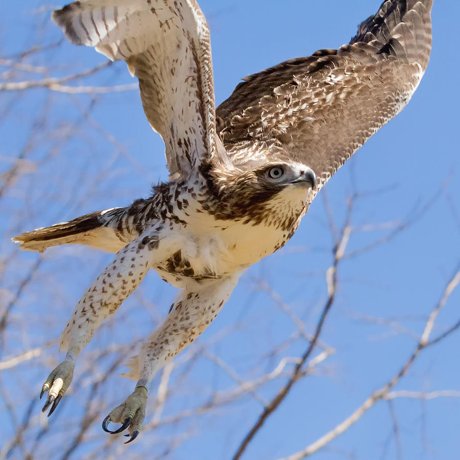 Hawk Photograph - And Away I Go Square by Bill Wakeley