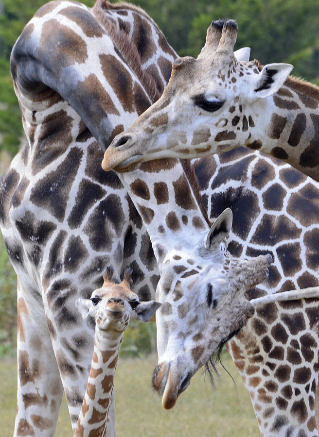Giraffe Photograph - And Baby Makes Three by Lori Tambakis