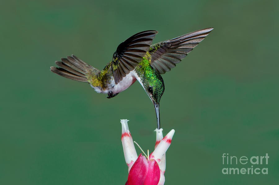 Andean Emerald Photograph - Andean Emerald Hummingbird by Anthony Mercieca