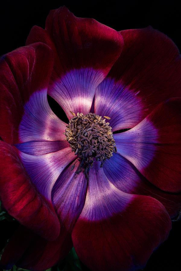 Anemone Photograph - Anemone by Ann Garrett