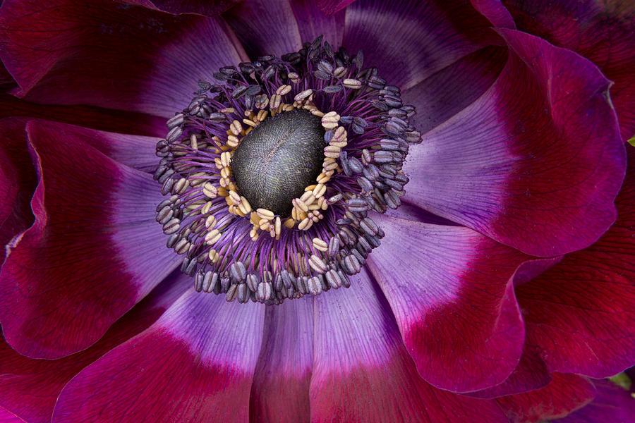 Anemone Photograph - Anemone Coronaria  Macro by Ann Garrett