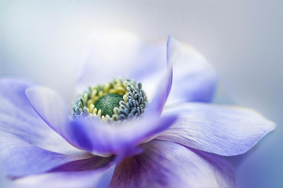 Flower Photograph - Anemone De Caen by Jacky Parker