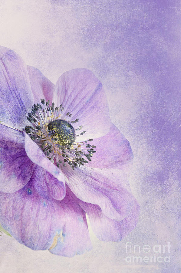 Purple Photograph - Anemone by Priska Wettstein