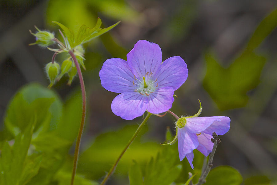 Anenome Wildflower Photograph