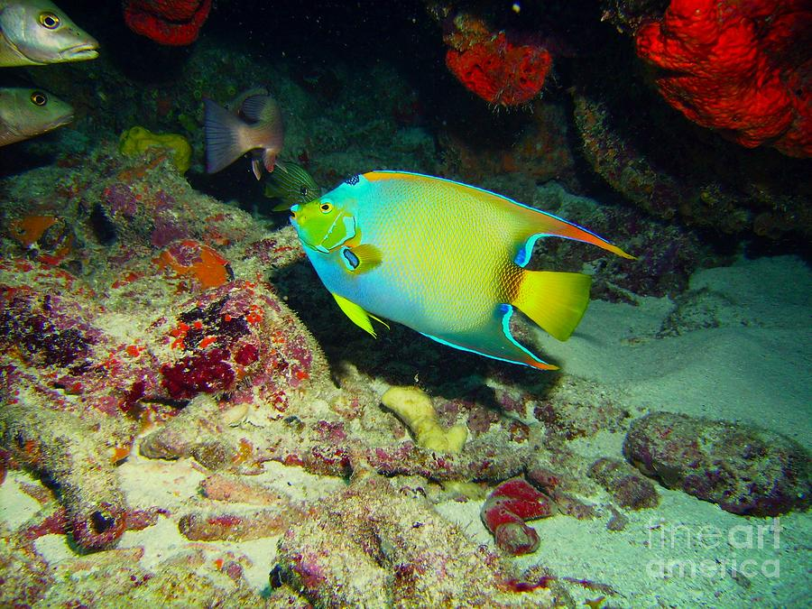 Angel Fish Photograph - Angel Fish by Carey Chen
