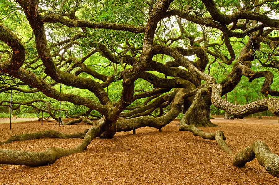 Nature Photograph - Angel Oak Tree Branches by Louis Dallara