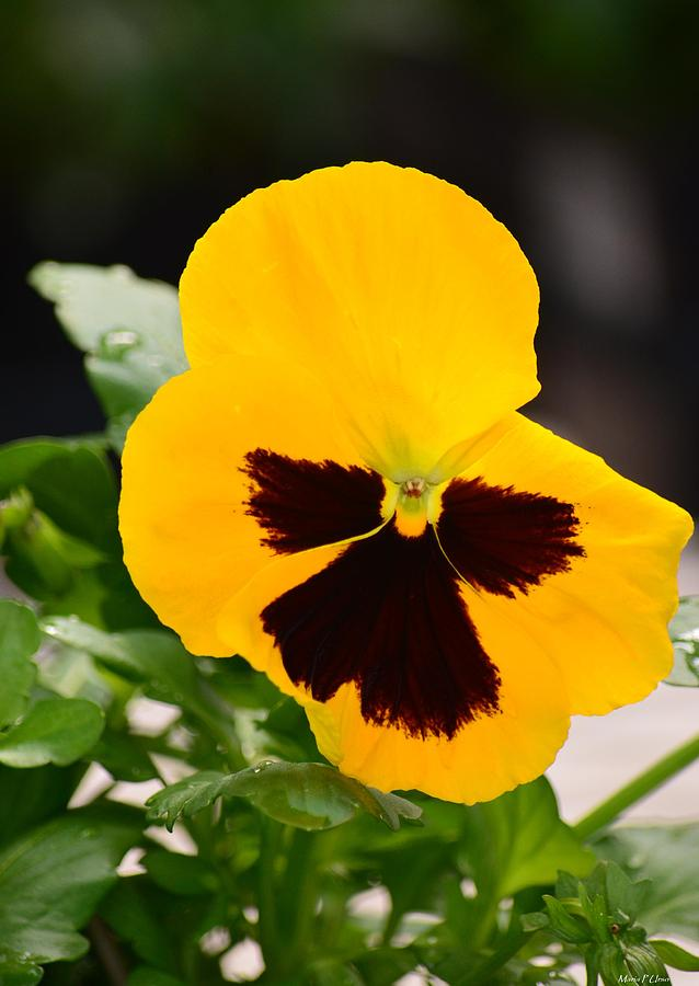 Yellow Pansy Photograph - Angel Winged Pansy by Maria Urso