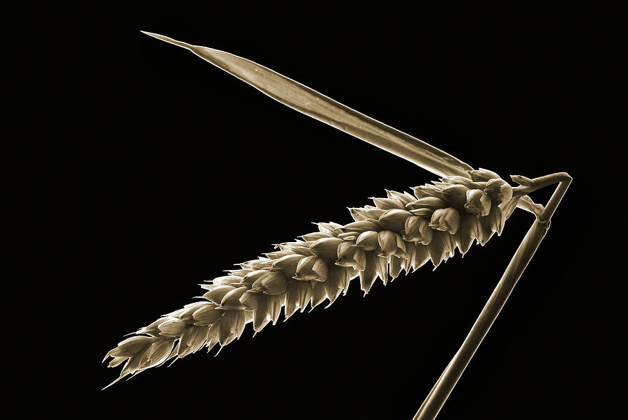 Sepia Tone Photograph - Angled Wheat by Terence Davis