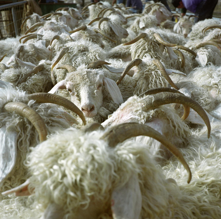 Agriculture Photograph - Angora Goats Tightly Packed In A Pen by Karl Schatz