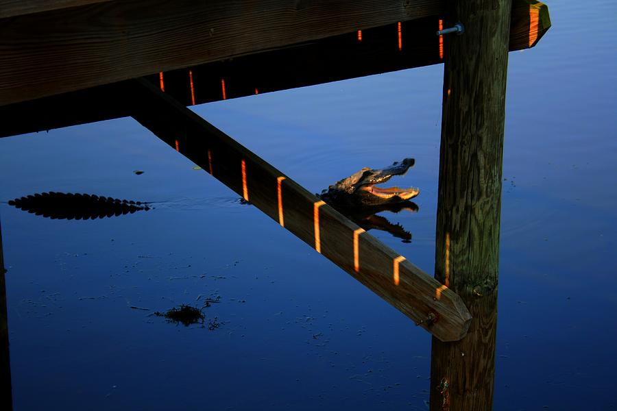 Florida Photograph - Angry Gator by Miles Stites