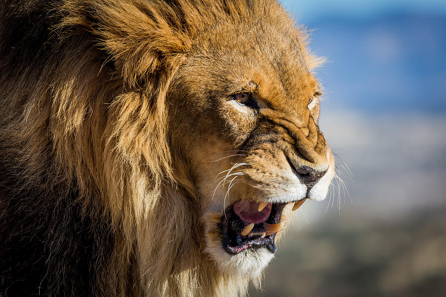 Angry lion Photograph by Henning Visser