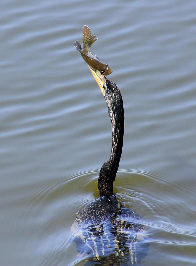 Bird Photograph - Anhinga Catch by Rosalie Scanlon