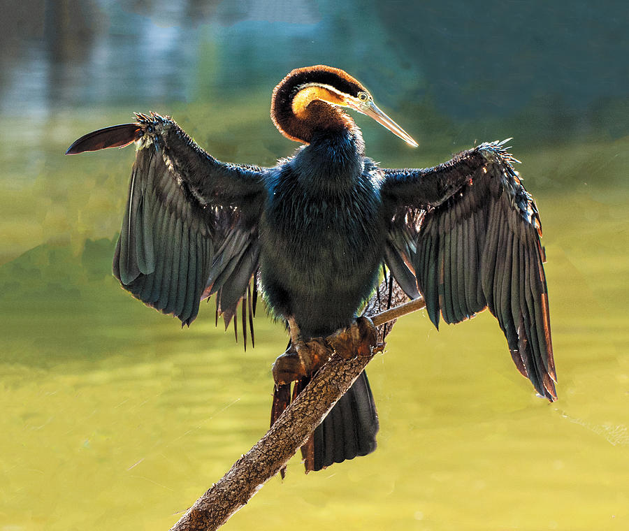 Bird Photograph - Anhinga Drying His Wings by William Bitman