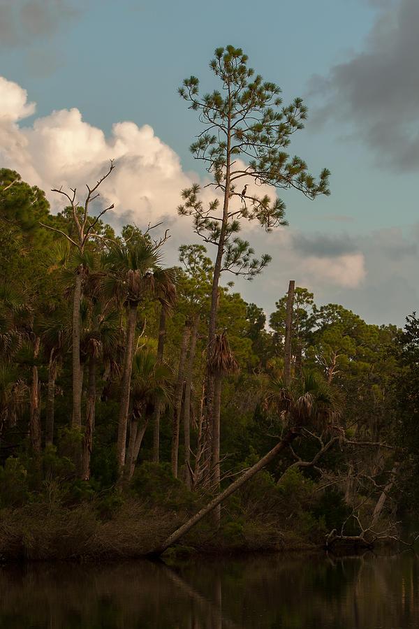 Anhinga Pine Photograph