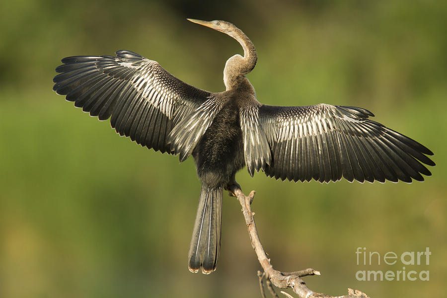 Anhinga Photograph - Anhinga Posing by Kelly Morvant