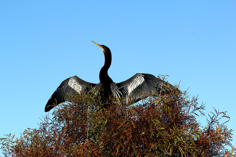 Anhinga Photograph - Anhinga Pride by April Wietrecki Green