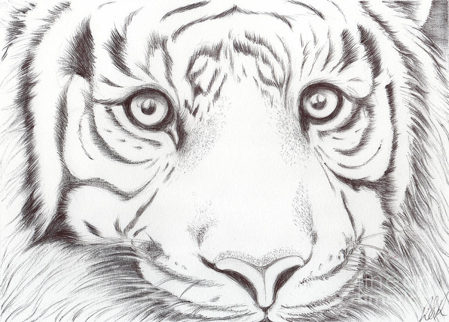 Animal drawing animal kingdom series wild cat by bobbie s richardson
