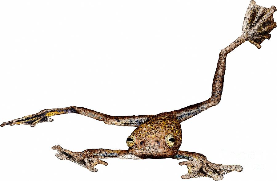 Annam Photograph - Annam Flying Frog by Roger Hall