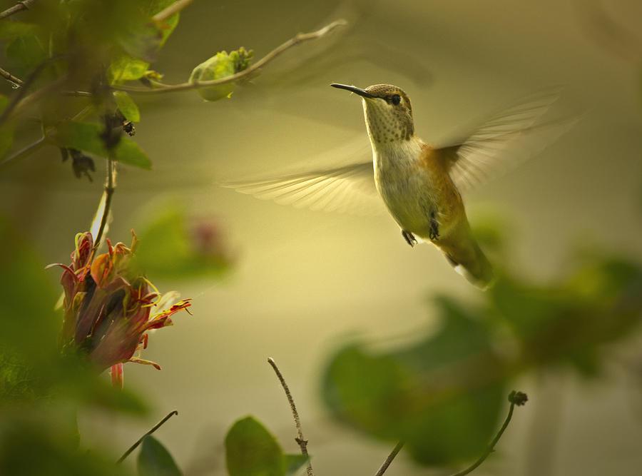 Rufus  Humming Bird  Photograph by Rob Mclean