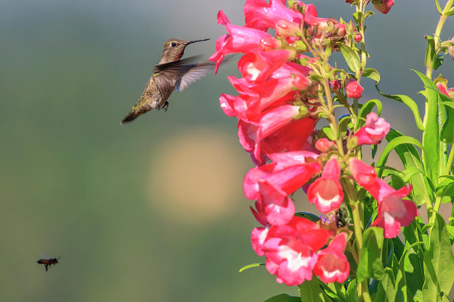 America Photograph - Annas Hummingbird And A Bee by Tom Norring