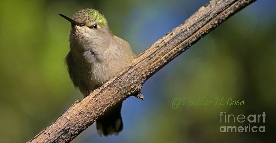 Birds Photograph - Annas Hummingbird Baby by Heather Coen