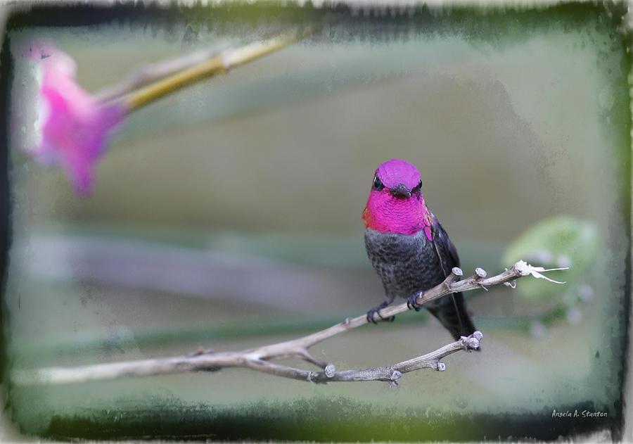 Hummingbird Photograph - Annas Hummingbird - Male by Angela A Stanton