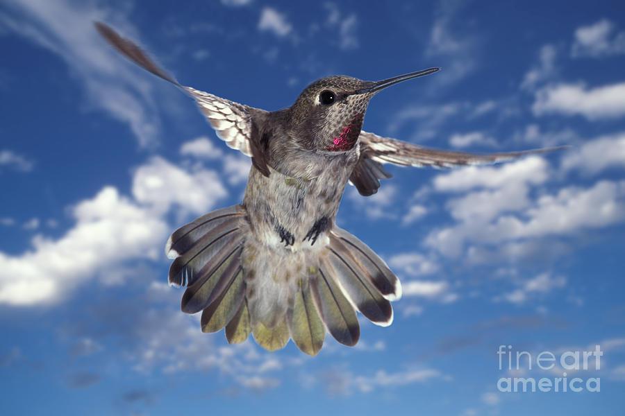 Animal Photograph - Annas Hummingbird by Ron Sanford