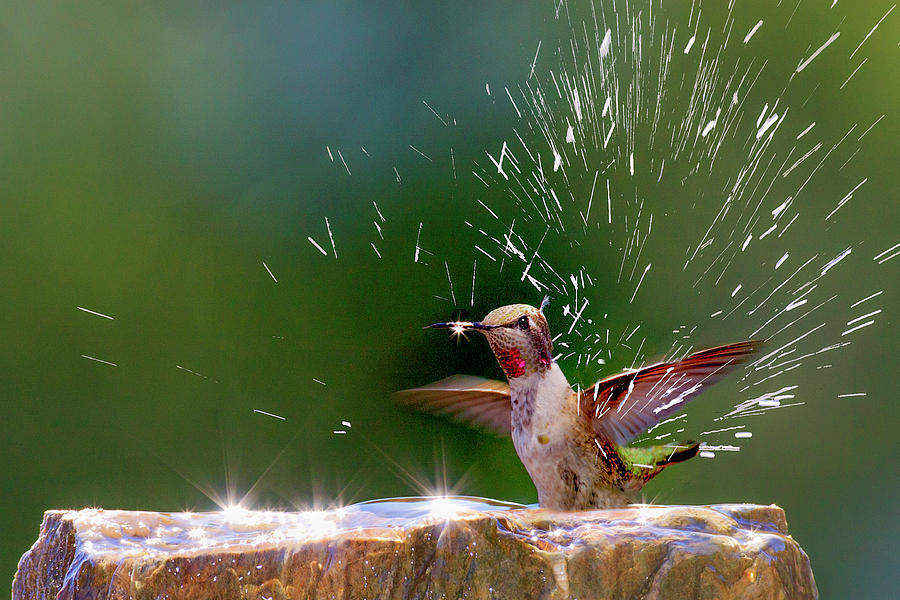 America Photograph - Annas Hummingbird Taking A Shower by Tom Norring