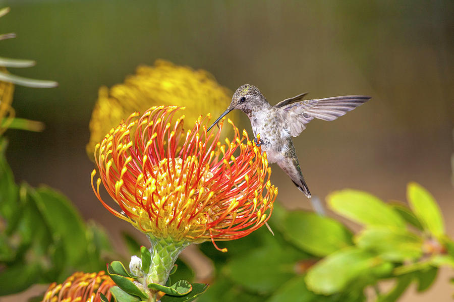 America Photograph - Annas Hummingbird by Tom Norring