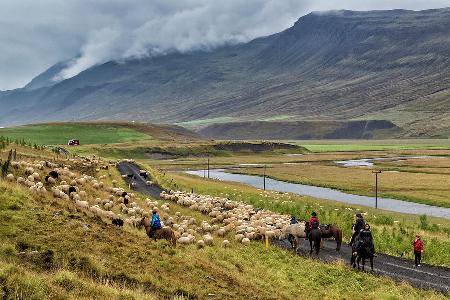 Field Photograph - Annual Autumn Sheep Roundup by Johnathan Ampersand Esper