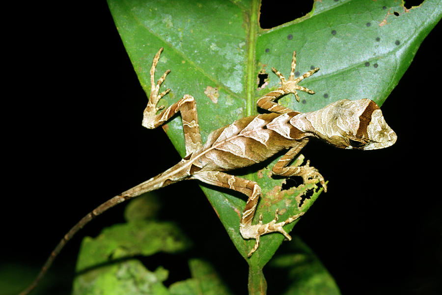 Animal Photograph - Anolis Lizard by Dr Morley Read/science Photo Library