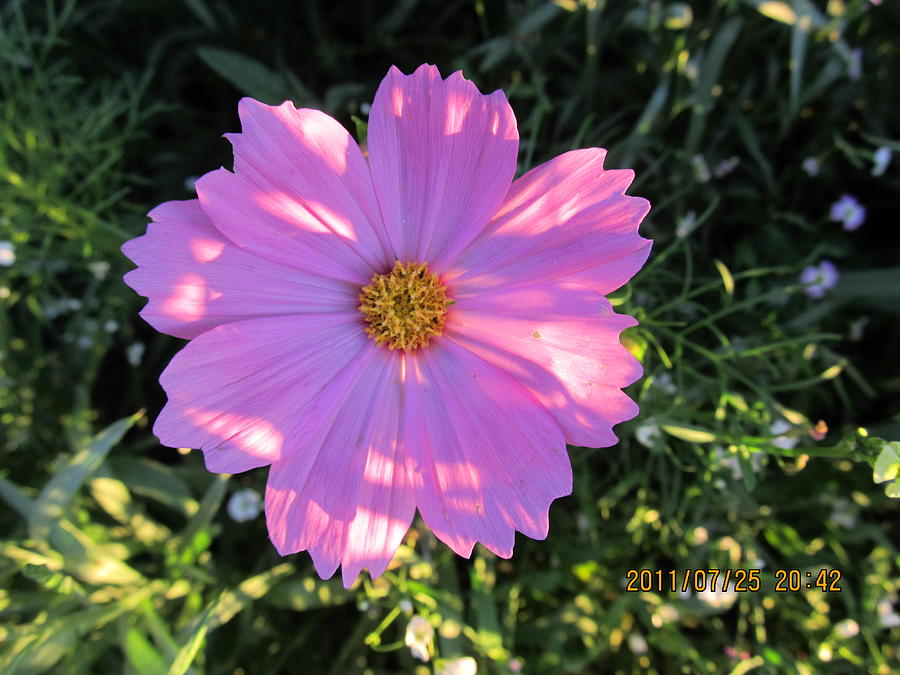 Flowers Photograph - Another New And Bigger Pink by Tina M Wenger