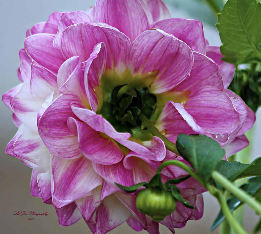 Dahlia Photograph - Another Point Of View by Jeanette C Landstrom