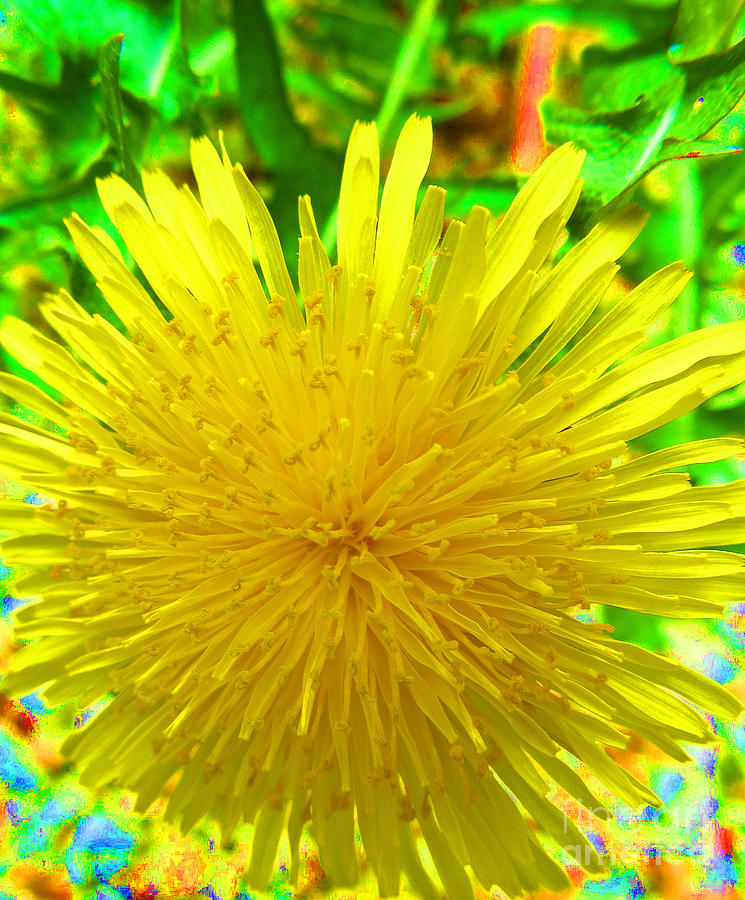 Dandelion Photograph - Another Variety Dandelion by Tina M Wenger