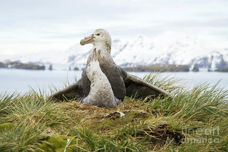 Antarctic Giant Petrels Mating Photograph by Yva Momatiuk John Eastcott