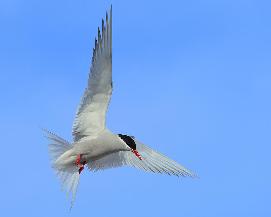 Antarctic Tern Photograph - Antarctic Tern by Tony Beck