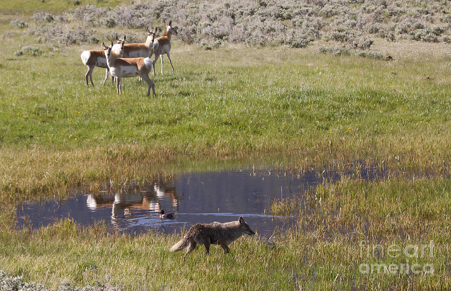 Antelope Photograph - Antelope   Duck   And Coyote   #9587 by J L Woody Wooden
