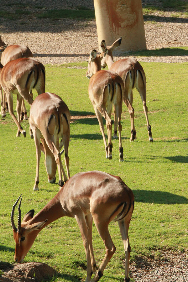 Nature Photograph - Antelopes by Tinjoe Mbugus