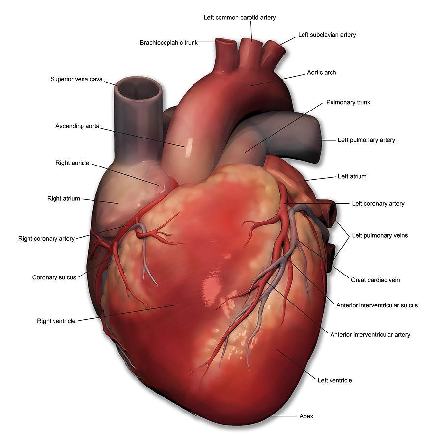 Anterior View Of Human Heart Anatomy Photograph By Alayna Guza