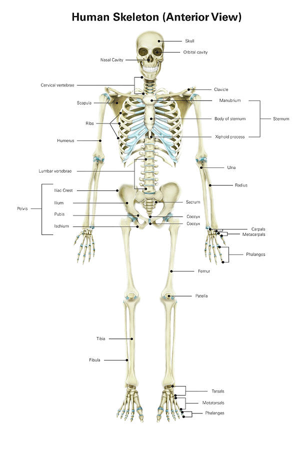 Anterior View Of Human Skeletal System Photograph By Alan Gesek