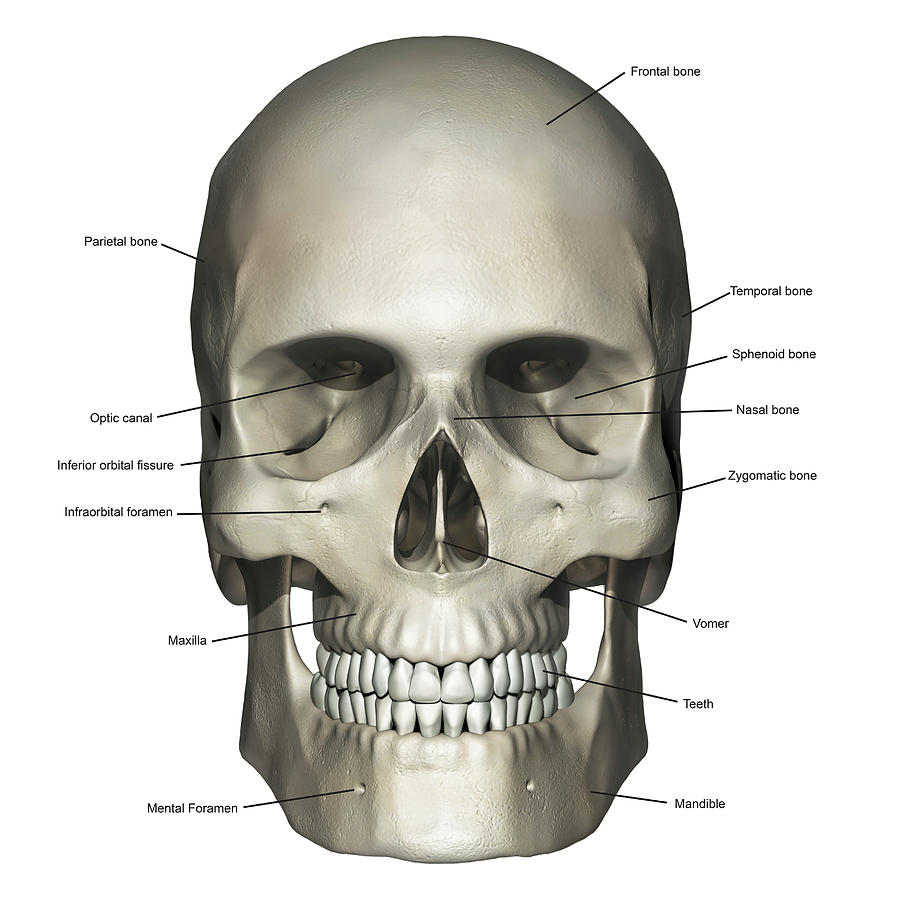 Anterior View Of Human Skull Anatomy Photograph By Alayna Guza