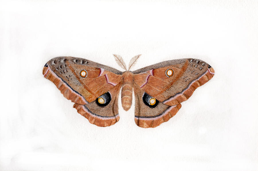Silkworm Moth Painting - Antheraea Polyphemus by Inger Hutton
