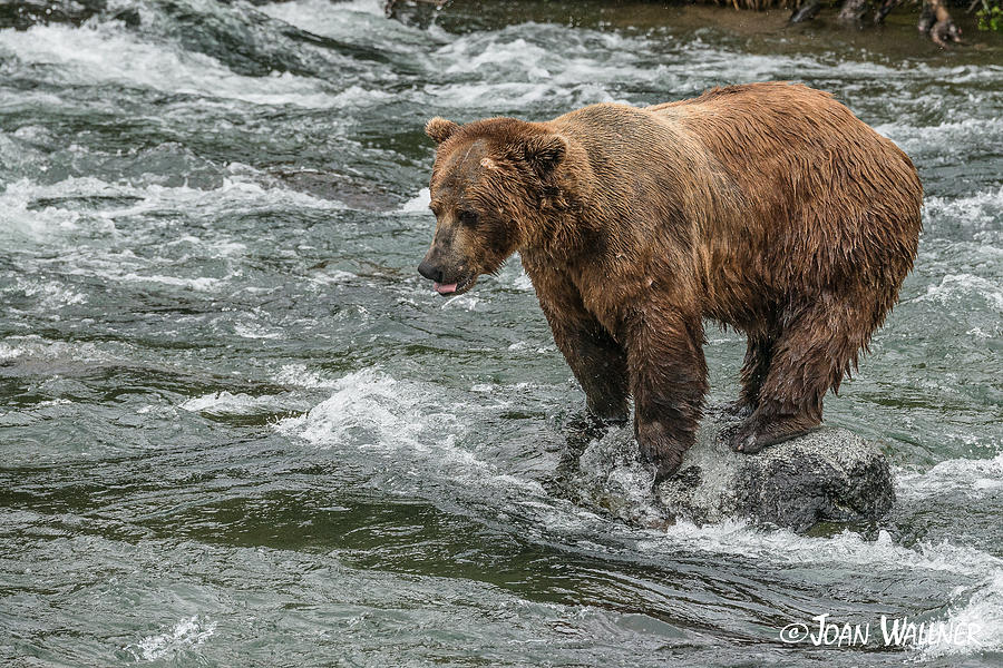 Alaska Photograph - Anticipation by Joan Wallner