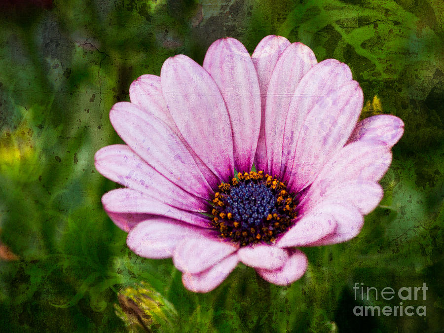 Daisies Photograph - Antique Flower by Lutz Baar