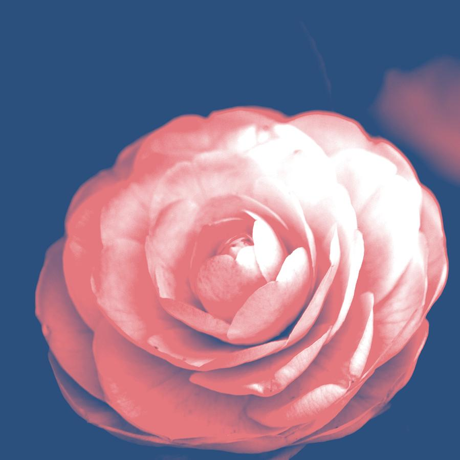 Antique Pink Camellia Flower Photograph By P S