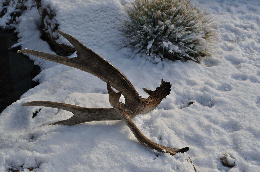 Mule Photograph - Antler 4 by Heather L Wright