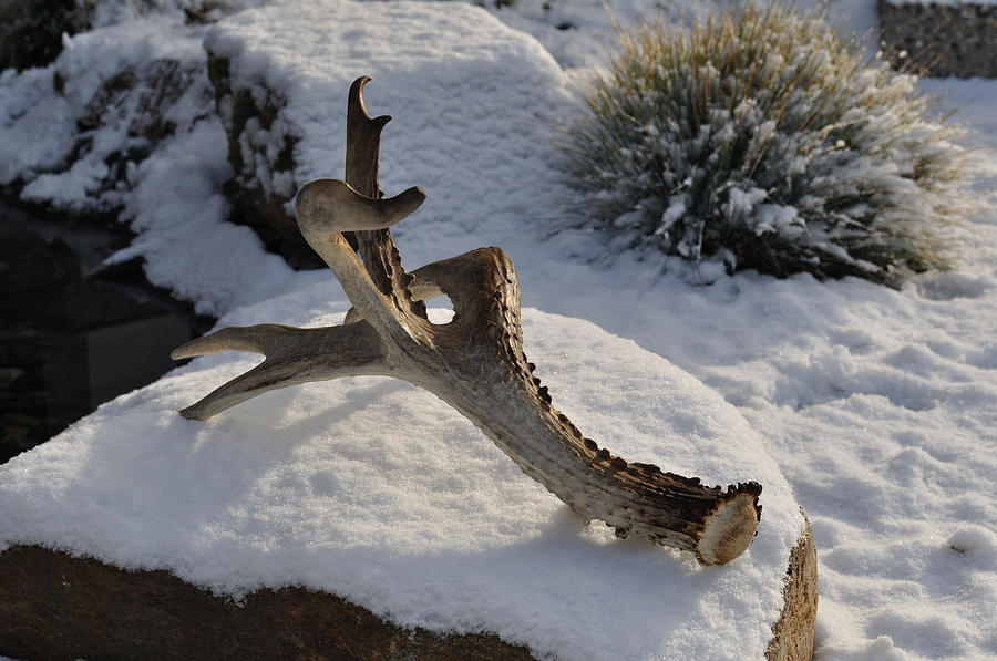 Mule Photograph - Antler by Heather L Wright